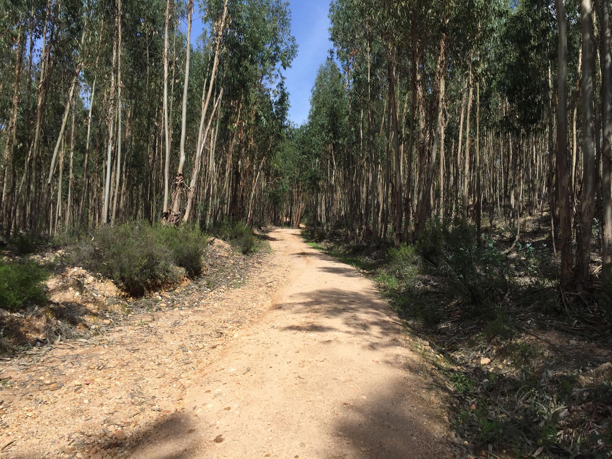 Eukalyptuswald irgendwo im Nichts südlich von Tomar