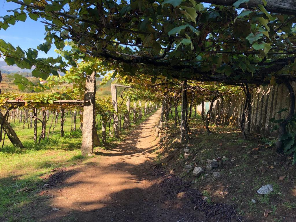 Südlich von Caldas des Reis wandert es sich durch viel Weinanbau