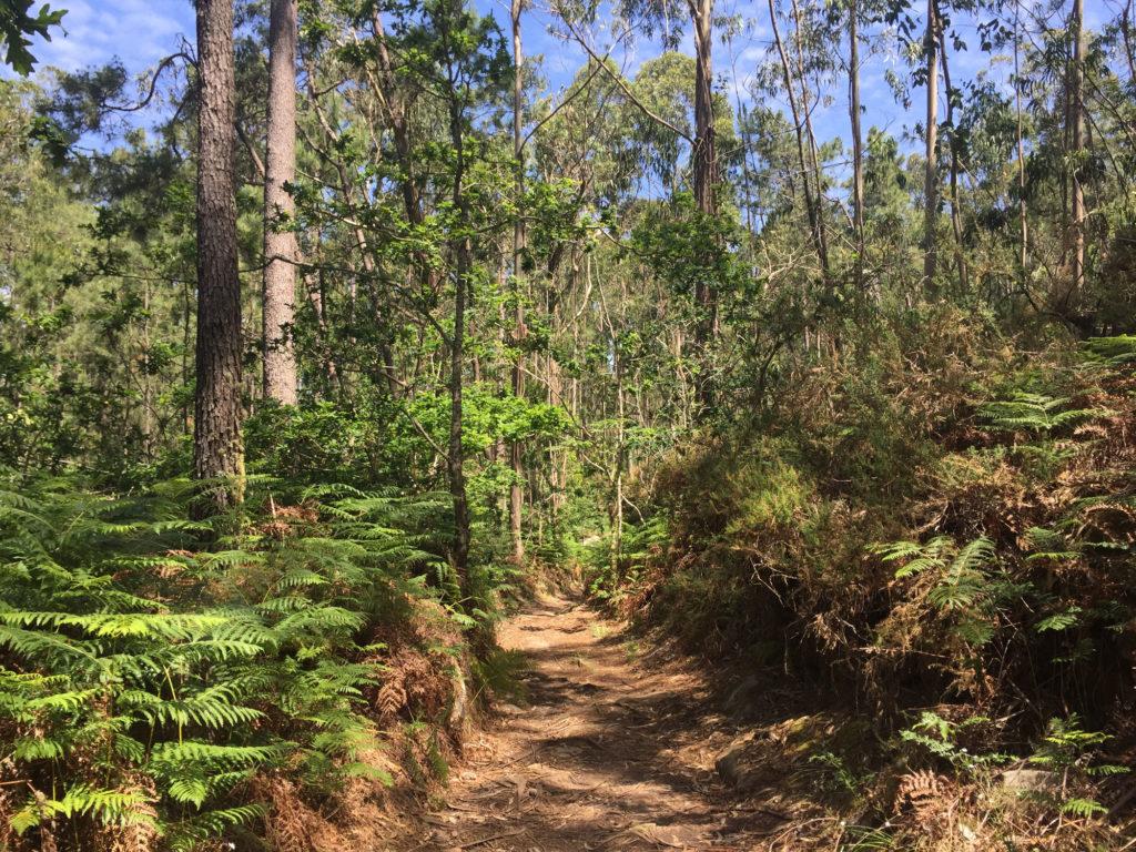 Eukalyptuswald nördlich von Viana do Castelo